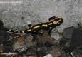 Salamandre tachetée: Salamandra salamandra