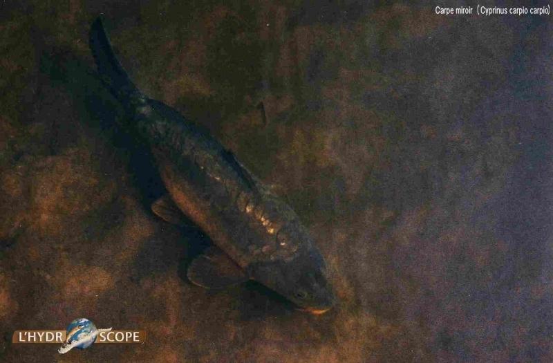 Autres poissons l 39 hydroscope for Poisson yeux miroir