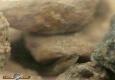 Anguille: anguilla anguilla