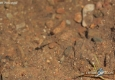 Vairon: Phoxinus phoxinus