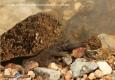 Ecrevisse à pattes blanches: Austropotamobius pallipes