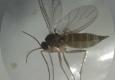 Simuliidae: imago