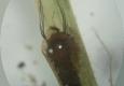 Simuliidae: nymphe