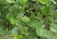Aulne glutineux (Alnus-glutinosa) : anciens strobiles