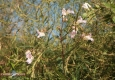 Balsamine de l'Himalaya: Impatiens glandulifera