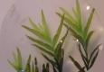 Bryophytes: Octodiceras fontanum
