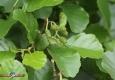 Aulne glutineux (Alnus-glutinosa): jeunes-strobiles