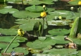 Nenuphar jaune: Nuphar lutea