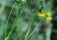Petite douve: Ranunculus flammula