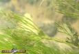 Renoncule flottante: Ranunculus fluitans
