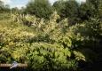 Renouee du japon: Fallopia japonica