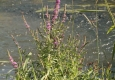 Salicaire commune: Lythrum salicaria