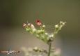 Scrofulaire aquatique: Scrophularia auriculata