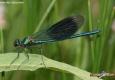Calopteryx éclatant mâle: Calopteryx splendens
