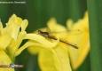 Petite nymphe au corps de feu: Pyrrhosoma nymphula