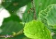 Leste vert: Lestes viridis
