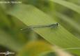 Agrion à larges pattes: Platycnemis pennipes