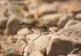 Gomphe à pinces: Onychogomphus forcipatus