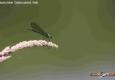 Calopteryx éclatant femelle: Calopteryx splendens