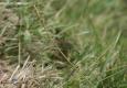 Ischnure élégant: Ischnura elegans