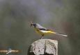 Bergeronnette des ruisseaux: Motacilla cinerea