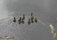 Canard colvert: Anas platyrhynchos