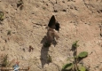 Hirondelle des rivages: Riparia riparia