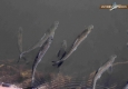 Saumon atlantique de la Sienne: smolts
