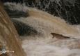 saumon-atlantique-octobre2013-23