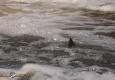 saumon-atlantique-octobre2013-30